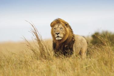 Der König der Savanne