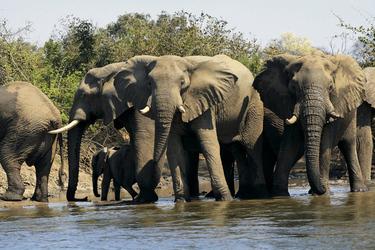 Elefanten beim Trinken