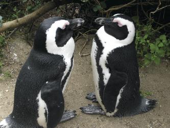 Pinguine am Boulder´s Beach