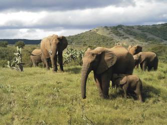 Elefanten bei Amakhala