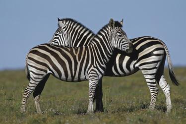 Zebras bei Amakhala