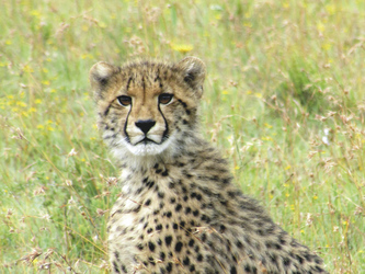 Stolzer Gepard