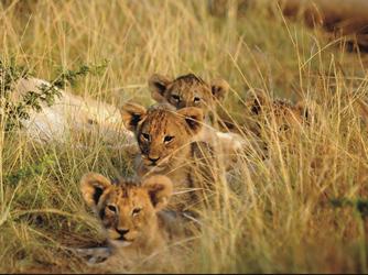 Löwenkinder auf Kariega