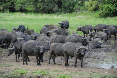 Büffelherde im Krüger Nationalpark