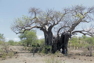 Baobab im hohen Norden