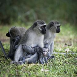 Neugierige Affenfamilie