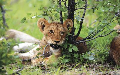 Neugieriges Löwenjunges