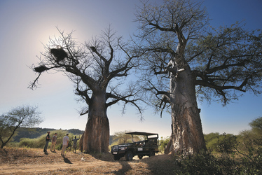 Majestätische Baobabbäume