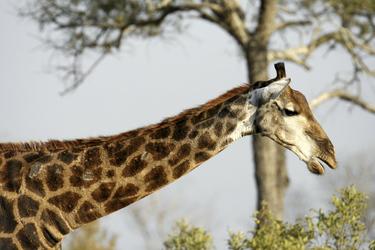 Elegante Giraffe im Krüger NP