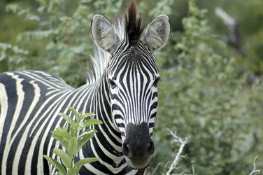 Neugieriges Zebra
