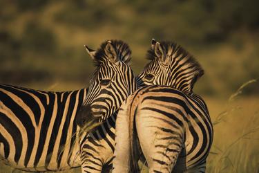 Zebras im Krüger Nationalpark, ©Bruce Taylor
