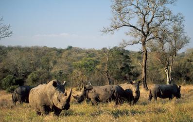 Nashörner im Krüger Nationalpark, © Roger de la Harpe