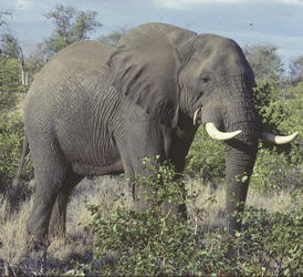 Elfant im Krüger Nationalpark