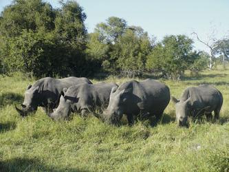 Nashörner im Krüger Nationlpark