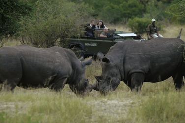 Nashörner auf einer Pirschfahrt im Krüger Nationalpark