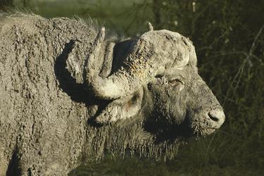 Wasserbüffel im Krüger Nationalpark