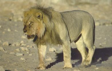 Kalahari Löwe im Kgalagadi Transfrontier Park