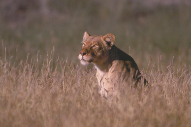 Löwe im Gras im Kalahari National Park