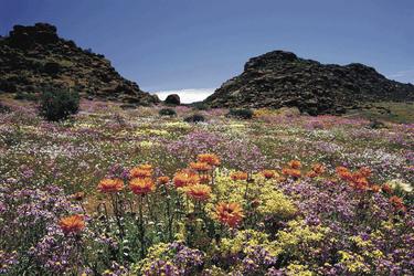 Blütezeit im Namaqualand