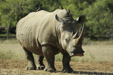 Breitmaul-Nashorn im Hluhluwe NP