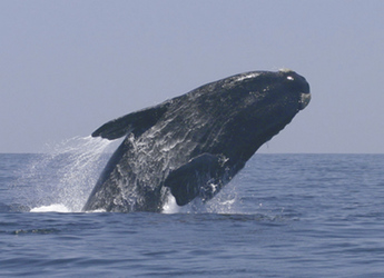 Wal in der Bucht von Hermanus