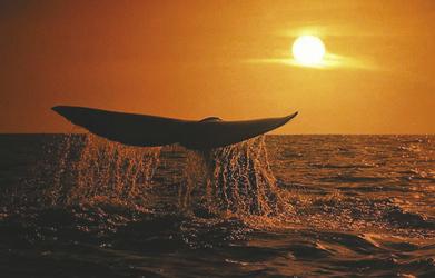 Schwanzspitze eines Glattwales