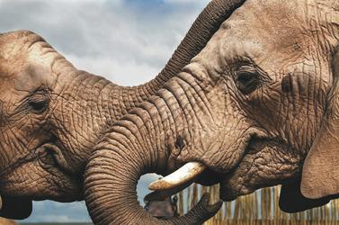 Elefanten-Freundschaft, ©Africa Media