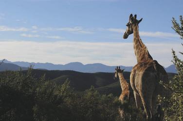 Große Giraffenfamilien warten auf Sie