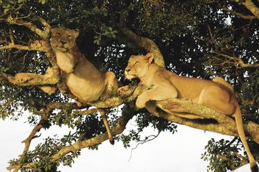 Schläfrige Löwen auf Kariega