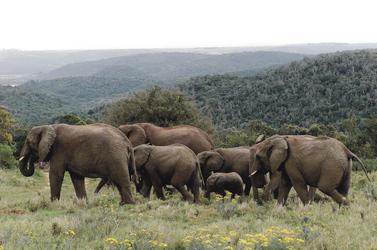 Elefantenherde auf Kariega