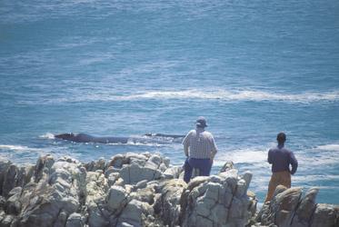 Wal hautnah vom Ufer aus bei Hermanus