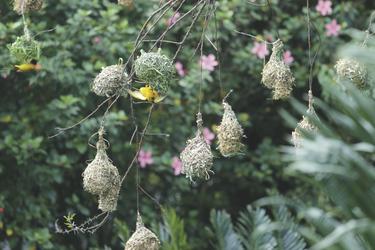 Webervögel bauen an ihren Nestern