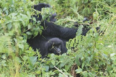 Gorillafamilie