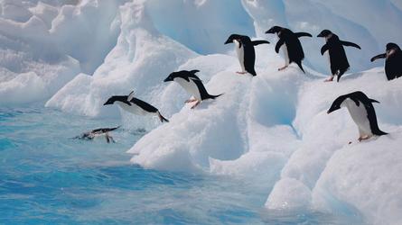 Pinguine beim Sprung ins Wasser