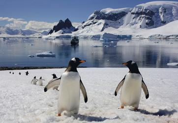 Pinguine beim Spaziergang