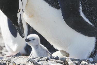 Pinguin Baby ©Ben Osborne