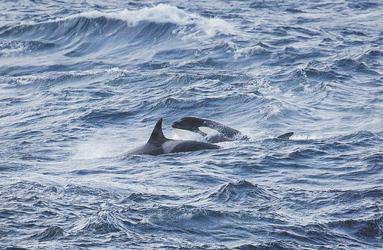 Orcas ©Mathew Farrell, ©Mathew Farrell