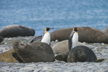 Königspinguine mit Seelöwen
