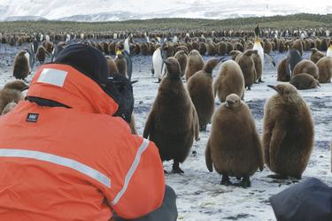 Königs-Pinguinküken