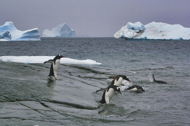 Abtauchende Pinguine