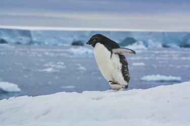 Junger Adelie-Pinguin