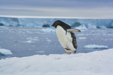 Kleiner Adelie-Pinguin