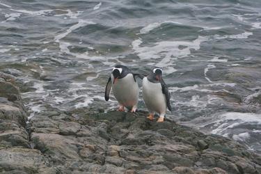 Esels-Pinguine
