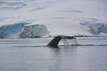 Sichtung von Buckelwalen