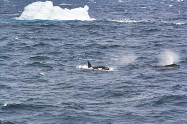 Orca Sichtung