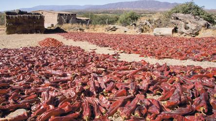 ausgelegte Chili zum Trocknen