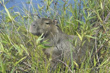 Capybara, Ibera Sumpfgebiet