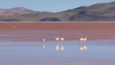 Flamingos in der Laguna Colorado im Altiplano