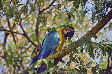Ara im Amazonastiefland