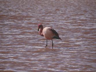 Flamingo in der Laguna Colorada